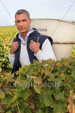 Man Picking Grapes Stock Photo