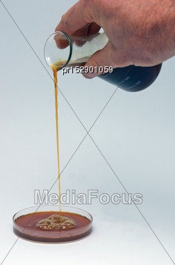 Man Pouring Out A Sample Of Light Crude Oil From A Flask To A Petri Dish. The Crude Oil Comes From An Exploratory Well On The West Coast Of New Zealand, And Is Very Close To Diesel In Composition, Wit Stock Photo