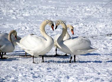 Many Beautiful Birds Remain To Winter In Tallinn On Coast Of Baltic Sea Stock Photo
