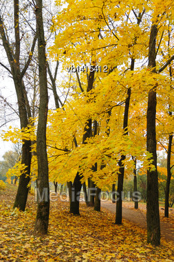 Maples In Autumn, Black Trunks And Yellow Foliage Stock Photo