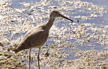Marbled Godwit Canada Wading Bird Canada Saskatchewan Stock Photo