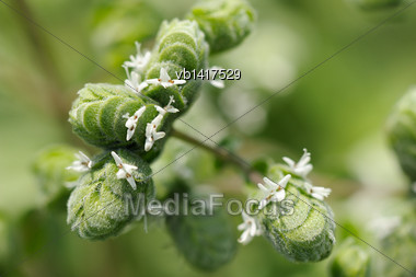 Marjoran, Top Of The Plant, Inflorescence Close-up Stock Photo
