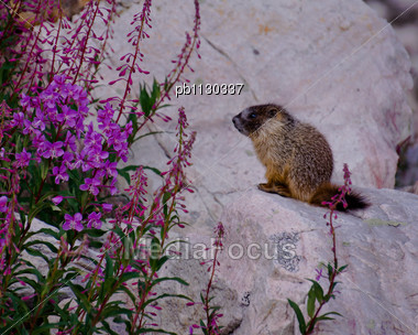 Marmot Pup Sits On A Sunny Rock By Some Fireweed Flowers. Stock Photo