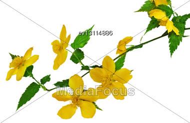 Marsh Marigold Yellow Wildflowers Stock Photo