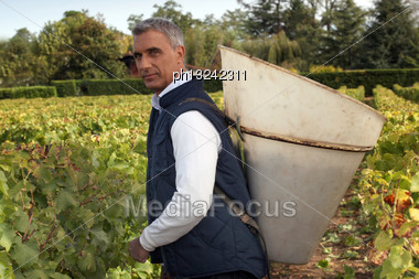 Middle Age Man Harvesting Grapes Stock Photo