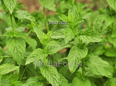 Mint In The Garden , Close Up Stock Photo