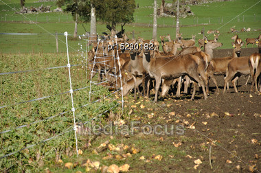 Mob Of Red Deer, Cervus Elephus, With Their Winter Feed Of Turnips On A Farm In Westland, New Zealand Stock Photo