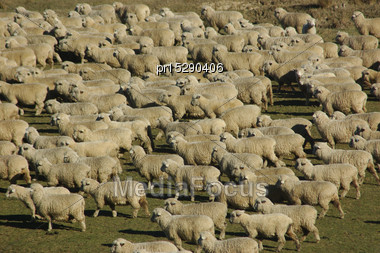 Mob Of Sheep On A Farm In Marlborough, South Island, New Zealand Stock Photo