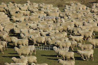 Mob Of Sheep On A Farm In Marlborough, South Island, New Zealand Stock Photo