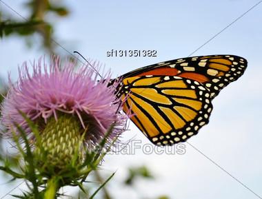 Monarch Butterfly On A Burdock Flower Stock Photo