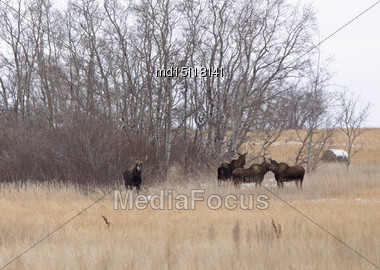 Moose In A Field In Winter In Saskatchewan Canada Stock Photo