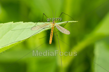 Mosquito Sitting On The Leaf Over A Green Background Stock Photo