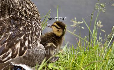Mother Duck And Babies Hidden In Saskatchewan Canada Stock Photo