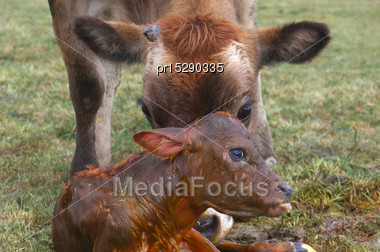 Mother Jersey Cow Licking Newborn Calf, West Coast, New Zealand Stock Photo