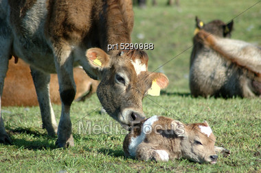 Mother Jersey Cow Licking Newborn Calf, West Coast, New Zealand Stock Photo