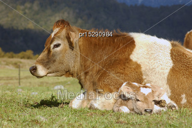 Mother Jersey Cow With Newborn Calf, West Coast, New Zealand Stock Photo