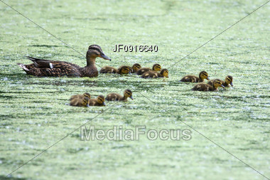 Mother Mallard and Ducklings on Pond Stock Photo