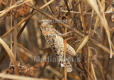 Motley Grasshopper Among A Dry Plants, Shot Against The Sky Stock Photo