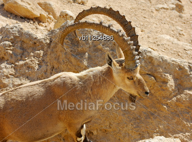 Mountain Goat In The Makhtesh Ramon, Israel Stock Photo
