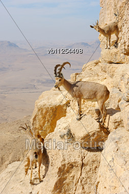 Mountain Goats On The Slopes Of The Crater Makhtesh Ramon, Israel Stock Photo