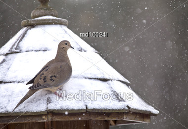 Mourning Dove In Winter At Bird Feeder Snowy Winter Canada Stock Photo