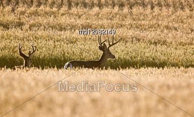Mule Deer In Wheat Field In Fall Alberta Canada Stock Photo