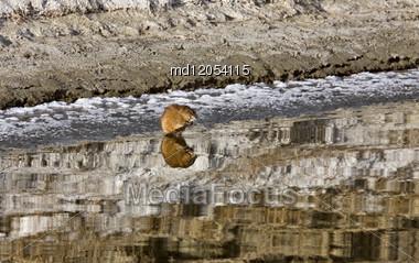 Musk Rat On Northern River Sunset Saskatchewan Canada Stock Photo