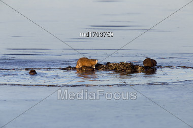 Muskrats At Work Dusk Prairies Canada Saskatchewan Stock Photo