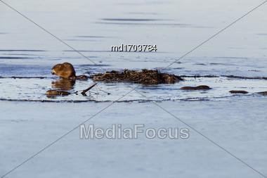 Muskrats At Work Dusk Prairies Canada Saskatchewan Stock Photo