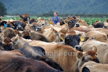 Musterer Brings Jersey Cows In From Pasture To The Milking Shed, West Coast, New Zealand Stock Photo