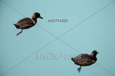 New Zealand Scaup Duck In Lake Benmore Stock Photo
