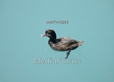 New Zealand Scaup Duck In Lake Benmore Stock Photo
