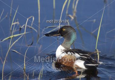 Northern Shoveler Duck Saskatchewan Canada Swim In Pond Stock Photo