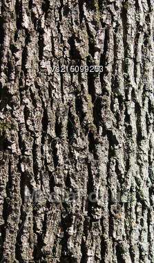 Oak Bark Background At Sun Light. Bark Texture Stock Photo