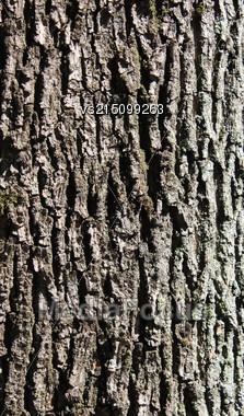 Oak Bark Background At Sun Light. Bark Texture Stock Photo