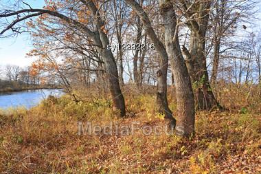 Oak Wood On Coast River Stock Photo