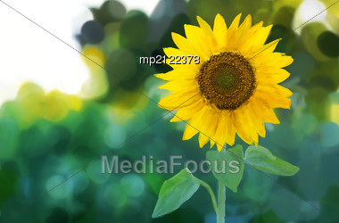 Oil And Watercolor Stylized Picture - Sunflower Stock Photo