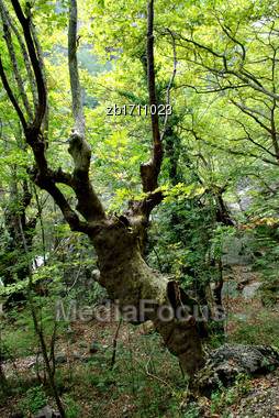 Old Hollow Leafless Twisted Tree In Forest Stock Photo