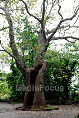 Old Hollow Leafless Twisted Tree In Park Stock Photo