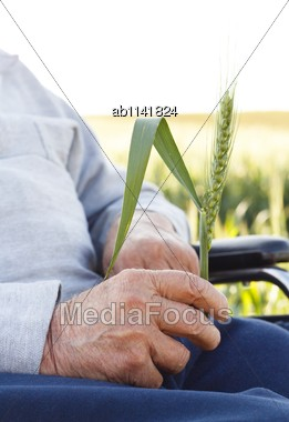 Old Man In Wheelchair Holding A Cornflower Stock Photo