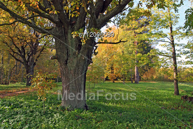 Old Oak In Autumn Wood Stock Photo