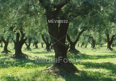 Olive Trees, Tuscany, Italy Stock Photo