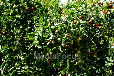 Olives On Tree At Sunny Sumer Day Stock Photo