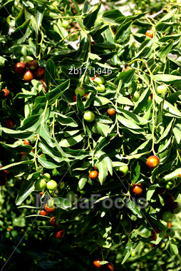Olives On Tree At Sunny Sumer Day Stock Photo