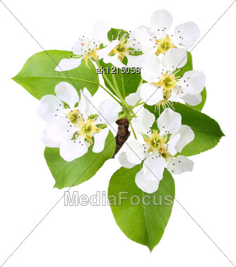 One Branch Of Apple Tree With Green Leaf And White Flowers Close-up Studio Photography Stock Photo