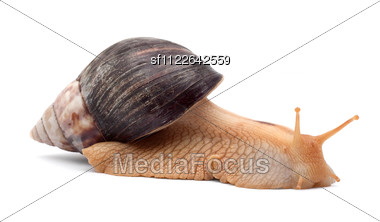 One Brown Snail Stock Photo