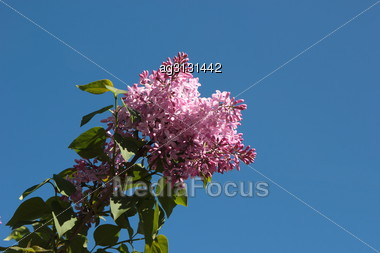 One Of The First In The Spring Of Flowers Bloom On The Branches Of Lilacs Stock Photo