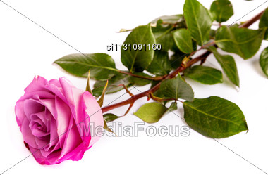One Fresh Pink Rose Isolated On A White Background Stock Photo