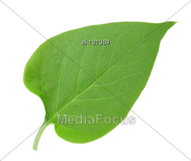 One Green Leaf Of Lilac Close-up Studio Photography Stock Photo