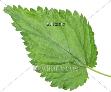 One Green Leaf Of Nettle Close-up Studio Photography Stock Photo